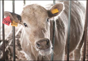 Beef Farm Cow