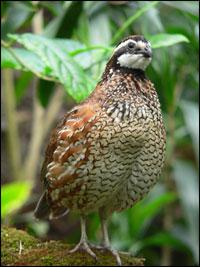 Northern bobwhite quail.