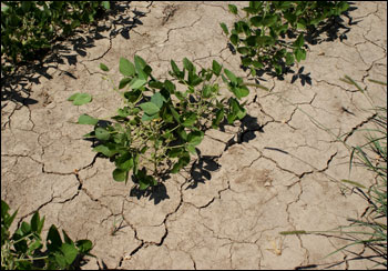 Soybeans in the drought simulator