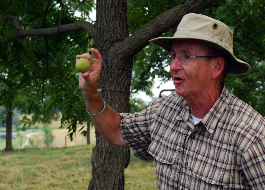Mark Coggeshall holds a black walnut at the HARC Field Day, June 30, New Franklin. Coggeshall is an assistant research professor, forestry.