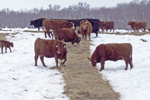 Cows eat freshly unrolled hay at Forage Systems Research Center.