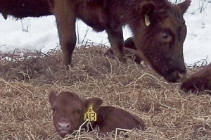 A calf curls up in the hay to stay warm.