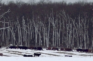 Cattle gather near the forest to keep out of the wind at FSRC.
