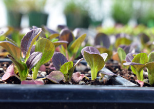 Bok choy seedlings grow in the greenhouse at Bradford Research Center.