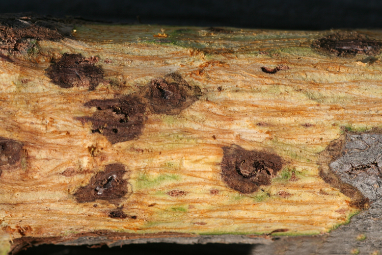 Walnut twig beetles boring under bark bring a fungus that causes these dark cankers in black walnut trees. Courtesy Whitney Cranshaw, Colorado State University.