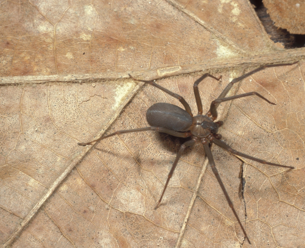 The brown recluse spider has a painful bite, but it usually avoids humans.Courtesy Sturgis McKeever, Georgia Southern University, Bugwood.org.