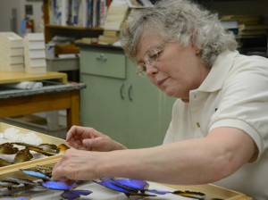 Kristin Simpson categorizes butterflies recently donated to the Enns Entomology Museum. Simpson is the collection manager and helps oversee the lab assistants and museum events.