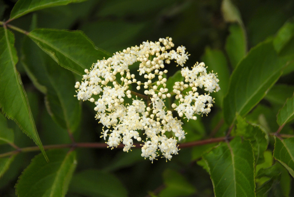 Elderberry plants are common along Missouri river banks and roadsides. The fragrant head of white blooms turns into an umbrella of small, dark purple berries. Courtesy Tim Baker.