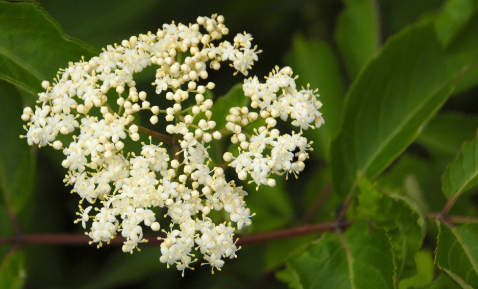 Elderberry plants are common along Missouri river banks and roadsides. The fragrant head of white blooms turns into an umbrella of small, dark purple berries.
