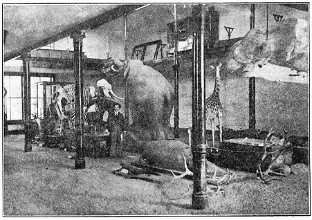 """The December 1931 issue of Missouri Alumnus magazine shows a photo taken in 1889 of the natural history museum in MU's Academic Hall. In the center of the photo is The Emperor, the elephant that caused so much grief for Samuel Laws.  In the upper right hand corner of the image, hanging from cables, is the wale mandible purchased by the Board of Curators in 1886. The magazine reported that on the night of the fire, a Prof. Ficklin, head of the Department of Mathematics, got an axe from his woodpile and chopped out the window frame of a large triple window in the west wall of the museum. Through this hole The Emperor was removed. The magazine reported: """"A rope was tied to one of the elephant's legs near the attachment to the pedestal on which he was mounted, and he was drawn under the projecting gallery floor of the second story of the museum, where he was protected from the falling fire brands of the building, until the brick was torn down to a level of the floor. The first floor of the museum was several feet above the level of the ground and a platform had to be constructed to afford a means of getting the heavy specimens to the ground. I can't tell now where the material came from for this runway platform, but I have a faint recollection of how Prof. Ficklin's woodpile and his yard and garden fence looked afterward, and I suspect that this was the source of most of the needed material."""" Courtesy Mizzou Magazine."""