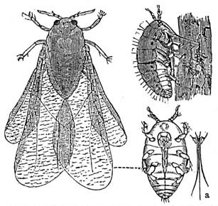 The aphid phylloxera was responsible for the failure of the French colonist's plantations in Florida, and probably the later destroyer of the French wine industry.