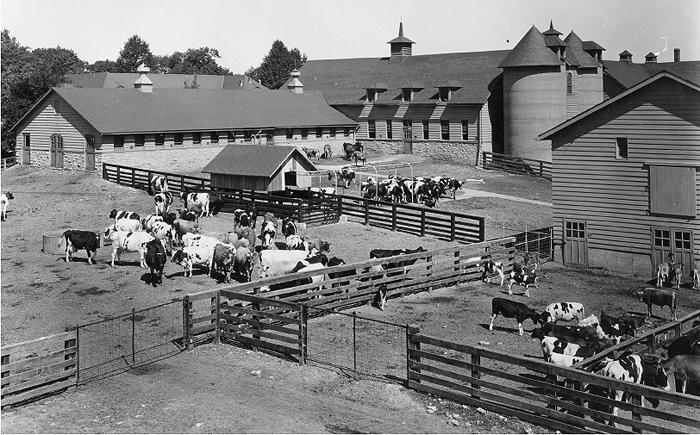 Dairy-Herd 1900