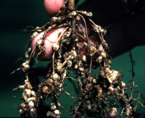 RKN-infected roots are stunted and darker in color than healthy roots and have fewer nitrogen-fixing nodules. Attached SCN females may be visible as shiny white or yellow spherical bodies on the roots. Courtesy Fisher Delta Research Center, Missouri Agricultural Experiment Station.