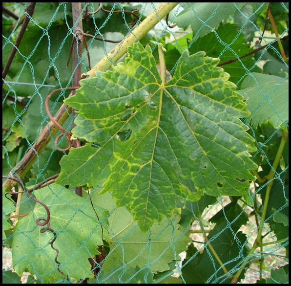 Grape leaf infected with the Grapevine vein clearing virus, a new virus of grapes in Missouri vineyards