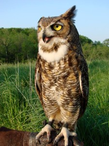 Eskimo Razoo is one of nine education birds. He is a great horned owl who was injured as a fledgling. Because he can't fly and is not releasable, he is now an education bird and helps teach people about his species.