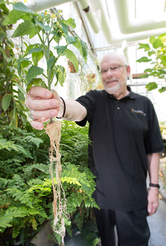 Roots play a key role in regulating where sugar ends up in plants like tomato.