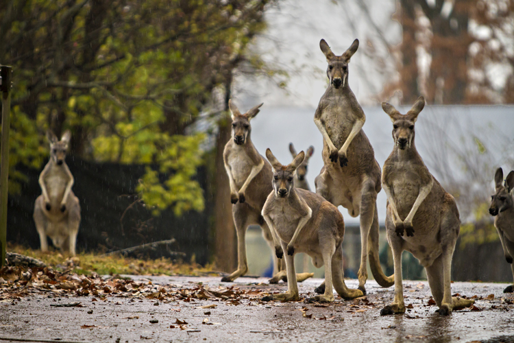 During the day, kangaroos roam the Kansas City Zoo's 7-acre Australia section.