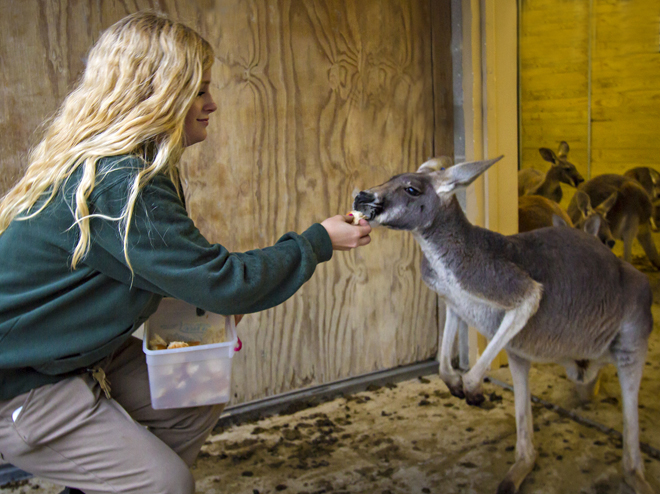 Zookeeper Kelsey Goens, a 2013 MU graduate, feeds kangaroos at the Kansas City Zoo.