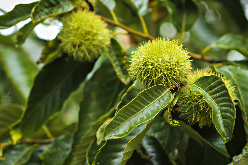 chestnuts_harc_0001