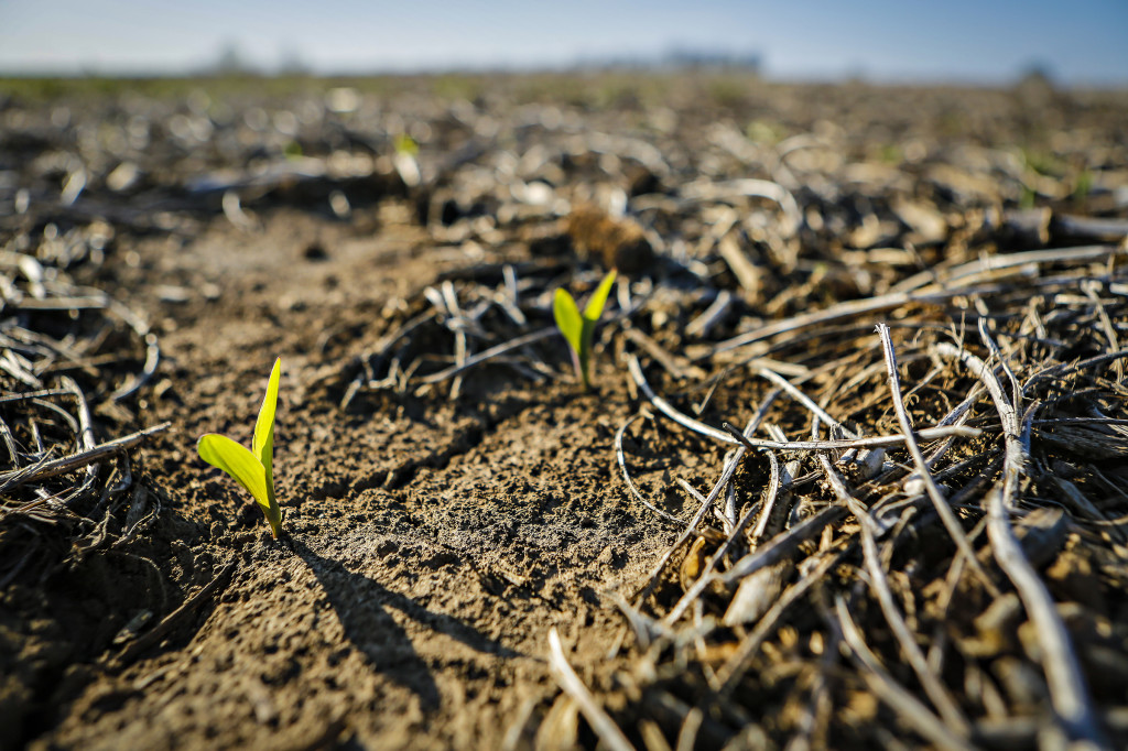 emerging corn_bradford_0019