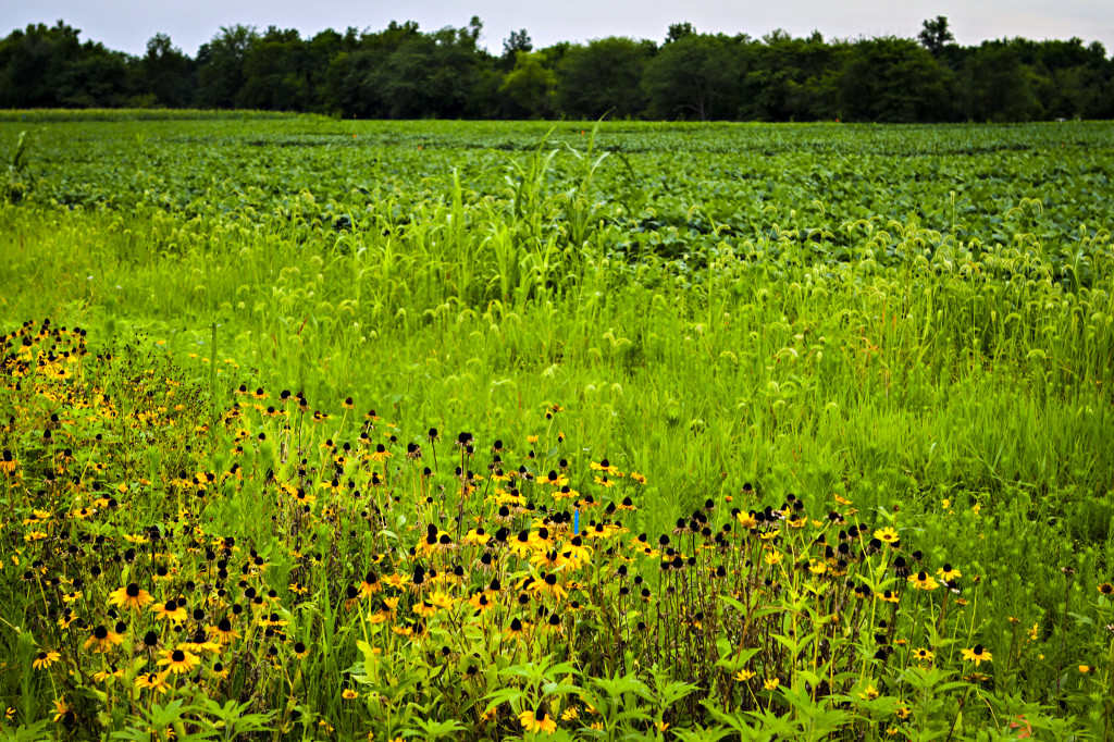 wildflower buffer_bradford_08042013_0009