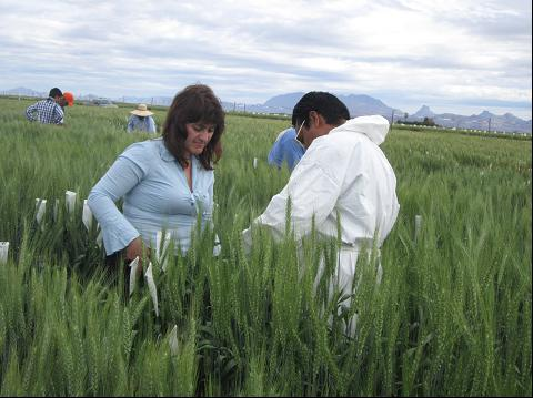 Dr. Dobrinka Atanasova in the field making hybrids.
