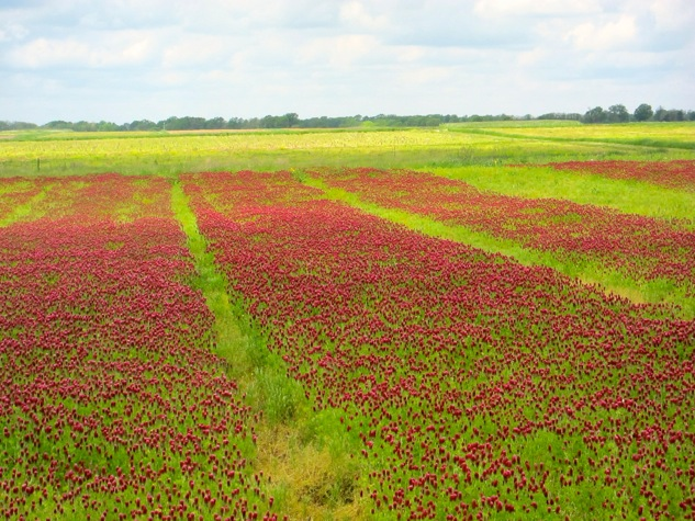 Photo of crimson clover being grown as a cover crop at MU's Bradford Farm in May, 2013.