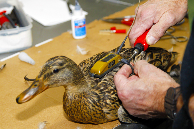 Adding the tracking device to a mallard before its flight north. Photo courtesy Mike Wintroath, Arkansas Game and fish Commission.