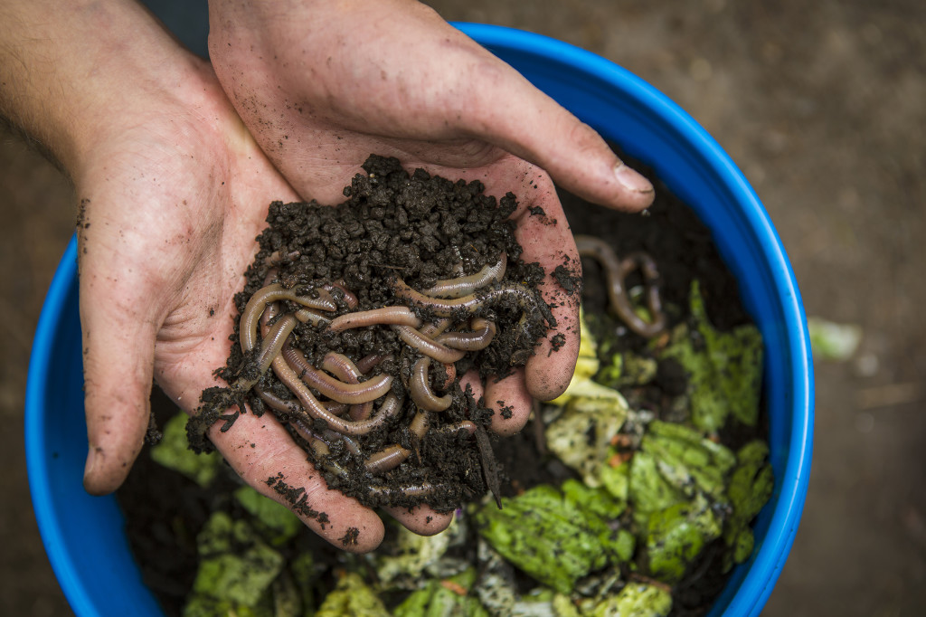 A vermicomposting bucket is mixed with food waste and worms. Several different species of worms such as Canadian nightcrawlers, red wigglers or earthworms are excellent at decomposing organic waste products and turn those throwaway food scraps, paper or yard waste into compost as beneficial soil amendments. Compost is the key to organic farming and researchers at MU's Bradford Research Center in Columbia are looking at ways to make this style of food production more efficient and affordable.