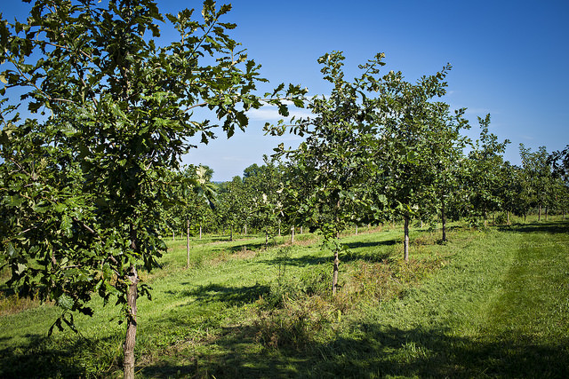 The trees were developed at CAFNR's Horticulture and Agroforestry Research Center (HARC), located at New Franklin.