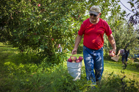 Randy Miles, associate professor of soil science, helps pick apples with his wife, Patricia.