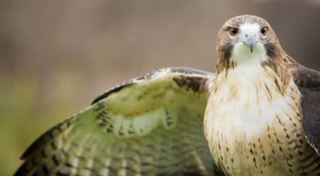 Raptors like the red-tailed hawk will call a business park home if there is sufficient tree and ground cover.