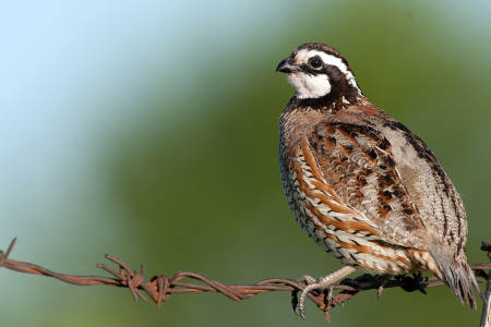 North Bobwhite Quial