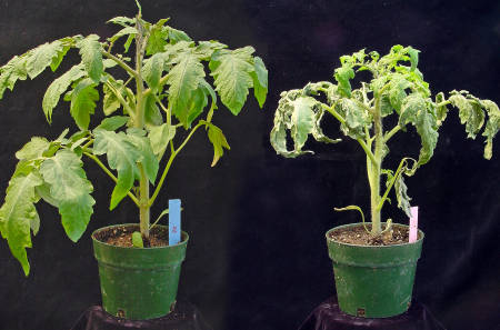 Plants that are infected with speck disease (right) often have wilted leaves and damaged fruit.