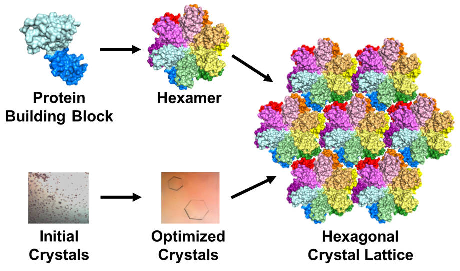 The protein building block of HIV capsid (top left) can assemble to form a hexamer (top middle). Crystals grown using this building block (bottom left and middle) contain an array or lattice of hexamers (right). | Image by Karen Kirby and Anna Gres