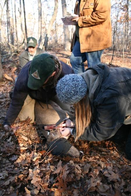 Billy Dooling and Chloe Wright leading the Ozark crew at capturing and collaring an adult doe in the south-central study area in February of 2015. Photo by Emily Flinn.