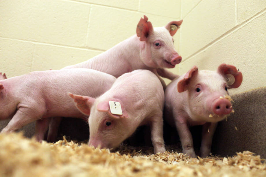 A group of genetically modified pigs have been found to be immune to the deadly PRRS virus after the CD 163 molecule was knocked out. Photo courtesy of Mizzou News Bureau.