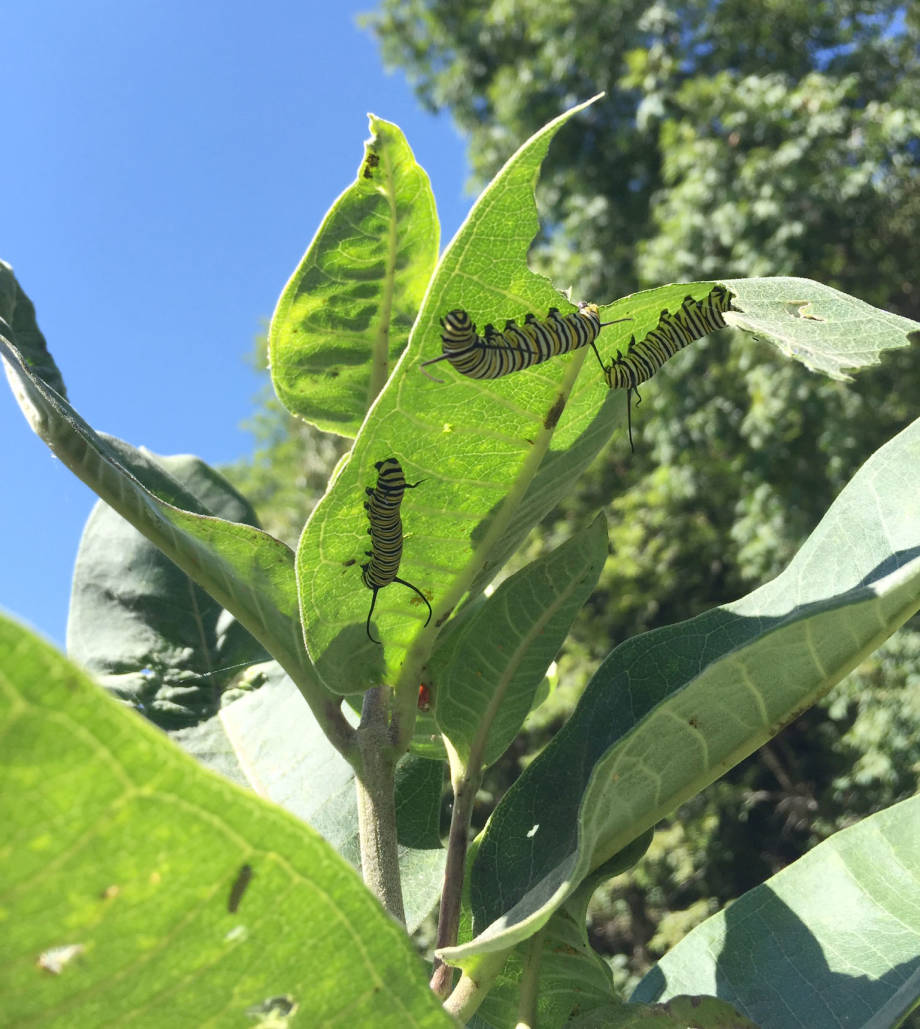 Milkweed is the food source of choice for monarch larvae. Photo by Dusty Walter.