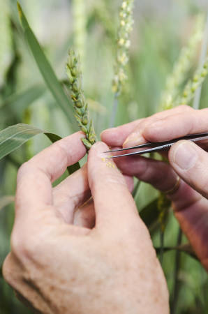 Anne McKendry is able to do all of her work crossing wheat plants using a simple pair of tweezers.