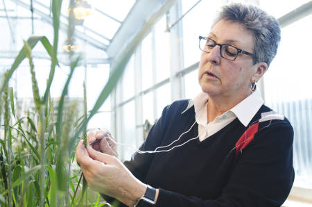 Anne McKendry spends a good portion of her week tending to a large amount of young wheat plants in the Sears Greenhouse.