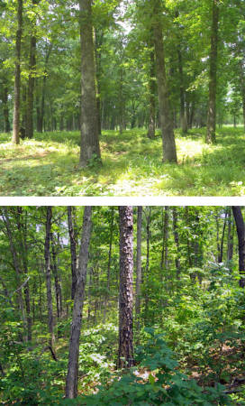 The two above photos are both from Reynolds County. The top photo shows a forest that has been treated with prescribed burns. It has an open midstory between the forest floor and overstory canopy. Historical forests are a closer match to the burned forests. The photo below that is of a control forest that has lots of vegetation growing in the midstory. Photos courtesy of Carter Kinkead.