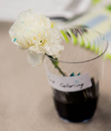 A white carnation begins to show traces of blue food coloring in its petals.