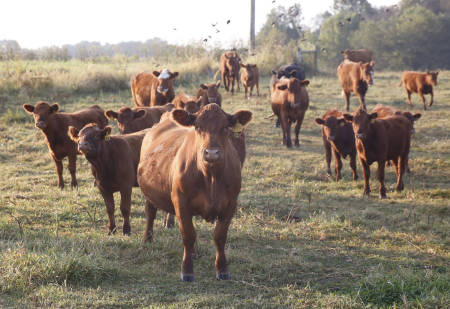 The Forage Systems Research Center is focused on developing and evaluating forage systems for all classes of beef cattle.