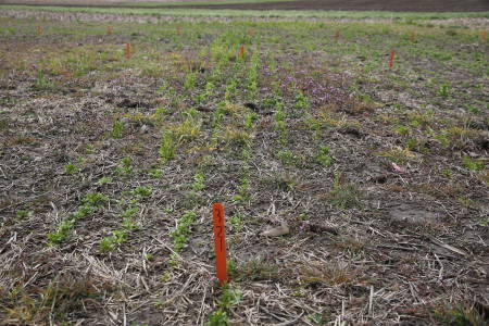 Field pennycress research is in its second year at the Greenley Research Center in Novelty, Mo.