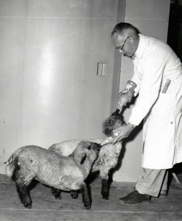 Thomas Luckey feeds two sheep during his research. Photo courtesy of Mary Luckey.