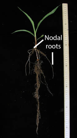 "The nodal roots of the corn plant are also known as ""brace"" or ""prop"" roots because of how they stabilize the plant at the bottom of the stem. The plant shown here has a divided root chamber system that grew in a laboratory. Photo courtesy of Kara Riggs and Bob Sharp."