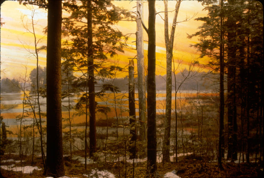 The dioramas of the Harvard Forest are three-dimensional of various parts of the forest from different times. Each small branch on every tree is actually a thin strand of copper wire, taking each diorama years to make. Pictured is a small stand of old-growth on the share of Harvard Pond. Photo courtesy of Harvard Forest, Harvard University.