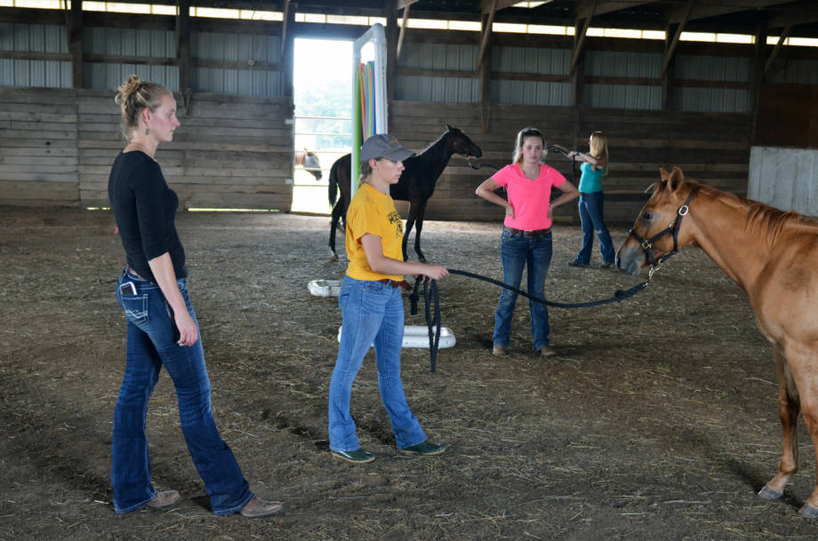 Natalie Duncan instructs Hannah Gerlt on how to get a horse to properly stand patiently away from his handler. The horse is Indigo, a quarter horse weanling colt who will be sold at the upcoming annual online horse sale and fundraiser. In the background is Mikaela Adams, a student from the animal sciences facilities management and marketing course, who has been assigned to know all about Indigo's pedigree and marketability leading up to the sale. Along the back wall, student Christina Rankin works with with her horse, Isabelle.