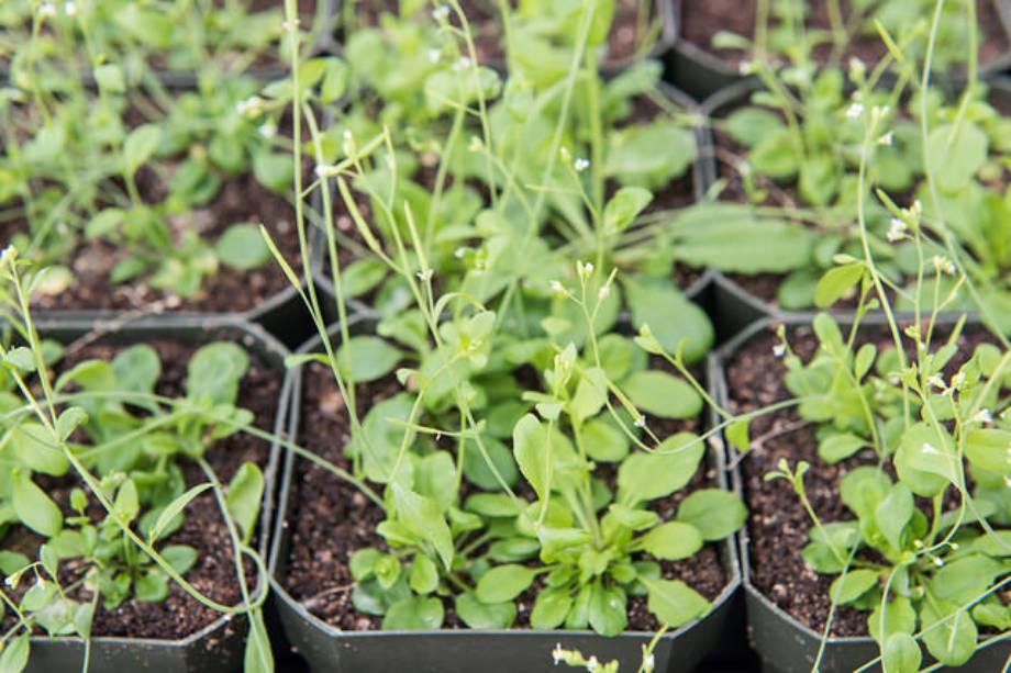 Samples of Arabidopsis plants.