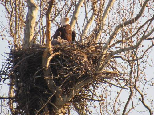 An eagle nest with baby eagles.